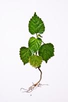 green leaf sw